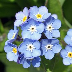 For shade gardens - don't forget the Forget-Me-Nots