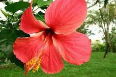 Resultado de imagen para flor de cayena y sus partes
