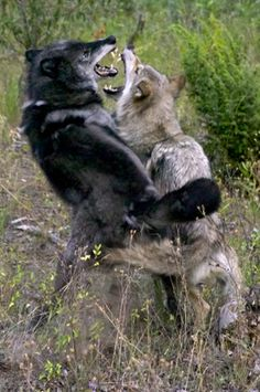fighting wolves photos - Google Search