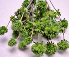 Thistle greenberry