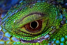 Iguana Eyes - Eyes from a Green Iguana - Iguana Iguana Les Reptiles, Reptiles And Amphibians, Beautiful Eyes, Animals Beautiful, Reptile Eye, Animal Close Up, Green Iguana, Dragon Eye, All Gods Creatures
