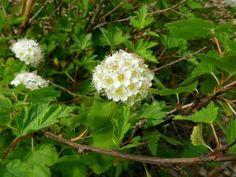 Physocarpus capitatus  Rose Family