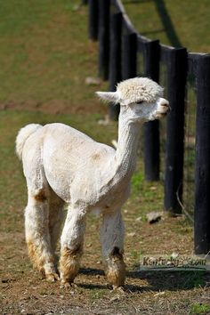 Photo Gallery: Alpacas galore in Kentucky