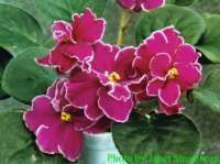 Fire Mountain, African Violet Society of America | Promoting and Growing the African Violet since 1946