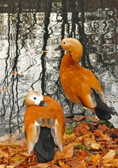 """Lovely birds on a pond in the autumn!"" Beautiful, colours, birds, composition. S"