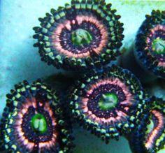 Pink Zippers BAR Swap - Javier M under medium Glass Aquarium, Nano Aquarium, Marine Aquarium, Reef Aquarium, Saltwater Tank, Saltwater Aquarium, Mandarin Fish, Underwater Plants, Marine Tank