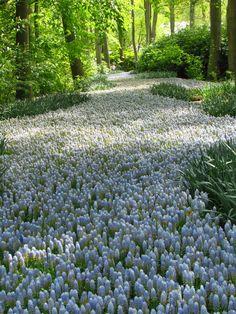 A river of grape hyacinths at Keukenhof gardens, 2015