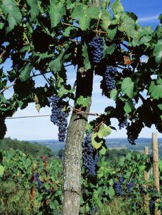 New York, Finger Lakes, Lake Keuka, Hammondsport, Bunch of Grapes on a Vine - poster