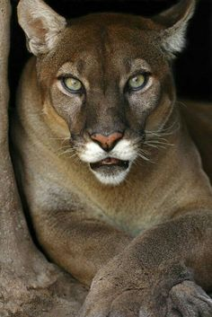 Mountain Lion / Puma / Cougar ~ There are 18 Native South American Names for them. 25 Native North American Names and 40 English name for them. I Love Cats, Big Cats, Cats And Kittens, Siamese Cats, Beautiful Cats, Animals Beautiful, Gorgeous Eyes, Pretty Eyes, Animals And Pets