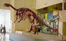 Muttaburrasaurus skeleton at the Queensland Museum