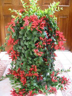 Air Plants, Indoor Plants, Lipstick Plant, Tropical Garden, Hanging Baskets, Love Flowers, Houseplants, Container Gardening, Seeds