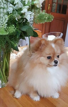 """I once had a Pomeranian named """"Pooper!""""  Guess why? <3"""