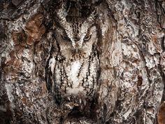 Graham McGeorge, Portrait of an Eastern Screech Owl Luogo: Okefenokee Swamp, Georgia, USA National Geographic Traveler