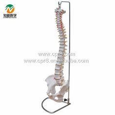 BIX-A1009 Life-Size Vertebral Column ,Spine With Pelvis Model  W015 #Affiliate