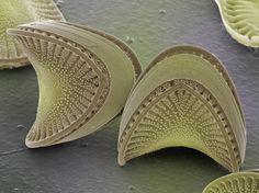 Diatom fortune cookies