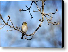 American Goldfinch-3 Canvas Print / Canvas Art By Christina Rollo