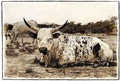 Marlene Neumann captures the beauty of South Africa's Nguni cattle. Characteristic patterned hides reflect the many variations of the African landscape Fine Art Photography, Landscape Photography, Neumann, Bull Riding, African Art, Cattle, Pet Portraits, Farm Animals, Wall Prints
