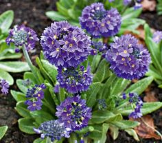 """Primula denticulata Blue Selection   White Flower Farm  Common Name: Drumstick Primrose  Hardiness Zone: 3-7 S / 3-8 W  Height: 12""""  Exposure: Full or Part Shade  Blooms In: April-May  Spacing: 8-12""""  Ships as: 3"""" Plastic Pot  Available at WhiteFlowerFarm.com for $11.95."""