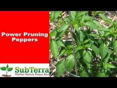 Growing peppers is very rewarding and fun especially once you learn how to prune them for the most production. These techniques work for pruning both hot pep. Hydroponic Gardening, Hydroponics, Gardening Tips, Urban Gardening, Urban Farming, Indoor Gardening, Vegetable Gardening, Bell Pepper Plant, Pepper Plants