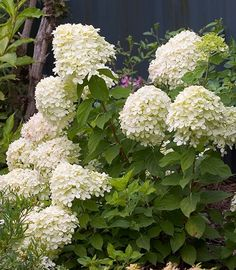 Little Lime (Hydrangea paniculata 'Jane') is similar in minty green color to the blooms of the bigger 'Limelight'. This dwarf version fits into smaller beds and borders. The mounding blooms mature to a pretty pink by the end of September. Grows up to 5 feet high and wide. Zones 3-9; Proven Winners