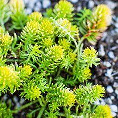 Low water Sedum rupestre 'Angelina' Short chartreuse leaves grow on stems up to 6 inches tall. This succulent from Europe spreads freely, making it a fluffy groundcover or filler between other plants. Dry Garden, Garden Shrubs, Garden Weeds, Garden Water, Balcony Garden, Succulent Landscaping, Front Yard Landscaping, Landscaping Ideas, Sedum Ground Cover