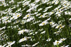 A margarida é uma flor que além de muito bela, possui grandes propriedades medicinais. Através das flores e folhas, é possível fazer chás e infusões.