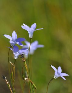 ♥ Royal Bluebell (Wahlenbergia stricta)