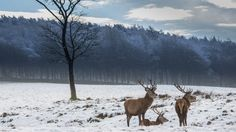 Three stags in the snow on a wintry day at Lyme, Cheshire (c) National Trust Images/Garry Lomas Photography