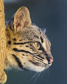 Geoffroy's cat (Leopardus geoffroyi) looking from the bag