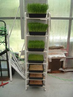 Wheat Grass... Yum..  Like the rack idea for different stages of wheat grass growth.