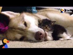 Husky Dog Adopts Stray Cat Saving Her Life | The Dodo: Comeback Kids - YouTube