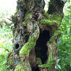 Willow Biesbosch