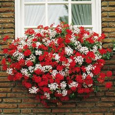 Ivy Geranium for classic European style window box, could use in combination with other cascading foliage