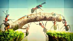 #Marombas: Como formigas conseguem carregar tanto peso? ↪ Por @jpcppinheiro. Lembra aquela cena clássica da formiga carregando uma folha? Isso acontece, é verdade, mas uma simples folha é pouco para essas criaturas. Elas são capazes de carregar 50 vezes o próprio peso! Veja só a resposta para essa #DúvidaCruel! http://www.curiosocia.com/2015/03/como-formigas-conseguem-carregar-tanto.html