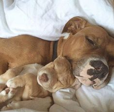 Aww look at their paws and the wrinkles on the pups head #pitbull