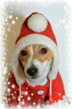 I SURE DO HOPE I FIND ONE OF THESE UNDER MY TREE THIS YEAR!!Jack Russell in a winter hoodie - so cute!