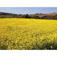 A beautiful image from my friend, ranny in Jeju island, Korea. Yellow, Yellow!