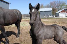 World's Prettiest Horse 2012 | World Draft Horse Network : Draft Horse Classified Ads