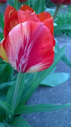 Tulip - null