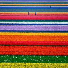 TULIP FIELDS IN THE NETHERLANDS..