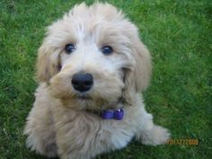golden doodle puppies - Google Search