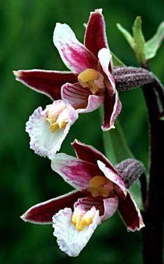 (Epipactis palustris var purpurea