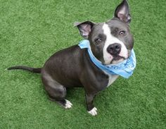 PHILLY - 12016 - - Manhattan  TO BE DESTROYED 11/13/17 *PUBLICLY ADOPTABLE* -  Click for info & Current Status: http://nycdogs.urgentpodr.org/philly-12016/