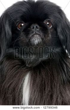 Black Pekingese 6 years old in front of a white background Stock Photo Yorkies, Pekingese Puppies, Animals And Pets, Baby Animals, Cute Animals, Fu Dog, Dog Cat, Collie, Baby Dogs
