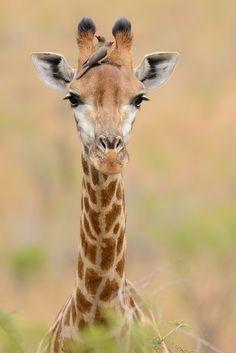 Giraffe with Red-billed Oxpecker, Hluhluwe Imfolozi Game Reserve, Kwa Zulu Natal, South Africa