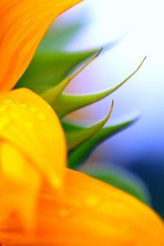 sunflower-- beautiful colors..♡