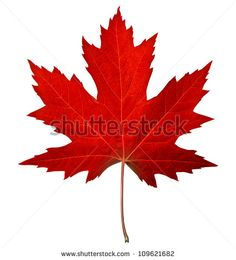 Red maple leaf as an autumn symbol as a seasonal themed concept as an icon of…