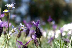 stoechas lavender