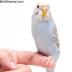 Follow these 14 bird tips to help hand train your parakeet.