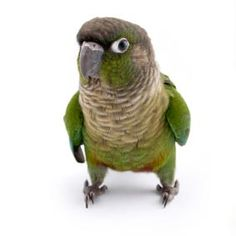 Conures: Sun Vs. Green Cheek - Pet Birds by Lafeber Co.